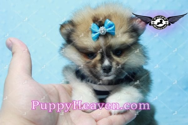 Boo Bear - Mini Pomeranian Puppy -10113