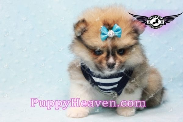 Boo Bear - Mini Pomeranian Puppy -10122