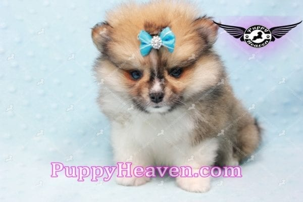 Boo Bear - Mini Pomeranian Puppy -10116