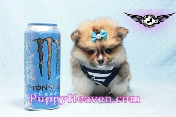 Boo Bear - Mini Pomeranian Puppy -10121