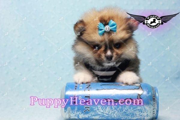 Boo Bear - Mini Pomeranian Puppy -10123