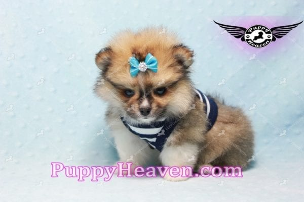 Boo Bear - Mini Pomeranian Puppy -10115
