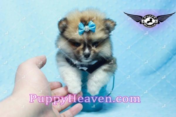 Boo Bear - Mini Pomeranian Puppy -10120