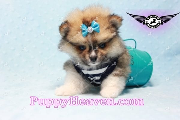 Boo Bear - Mini Pomeranian Puppy -10119