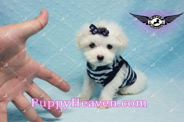 Charmer - Teacup Morkie Puppy-9990