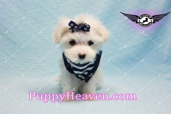 Charmer - Teacup Morkie Puppy-9996