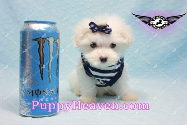 Charmer - Teacup Morkie Puppy-9994