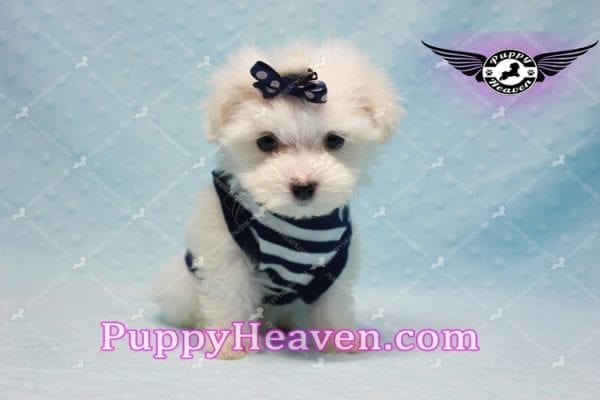 Charmer - Teacup Morkie Puppy-9987