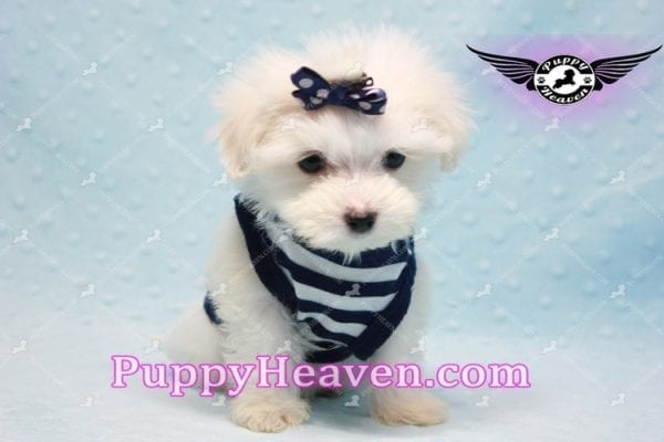 Charmer - Teacup Morkie Puppy-9988