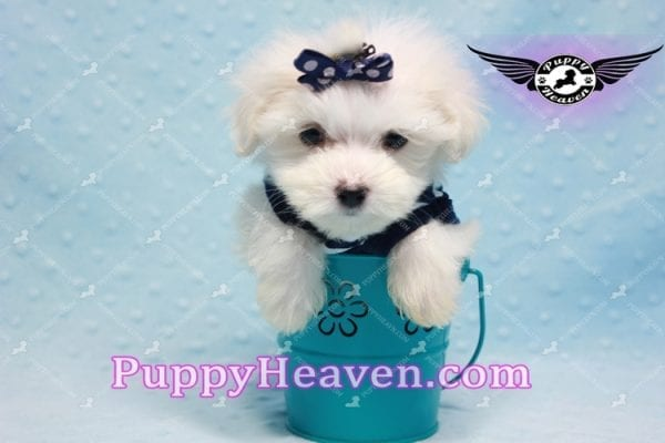 Charmer - Teacup Morkie Puppy-9993
