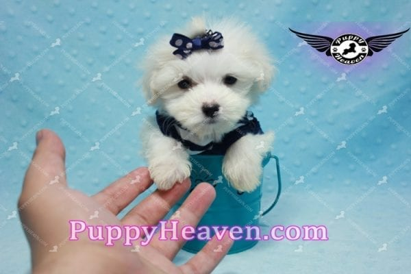 Charmer - Teacup Morkie Puppy-9995