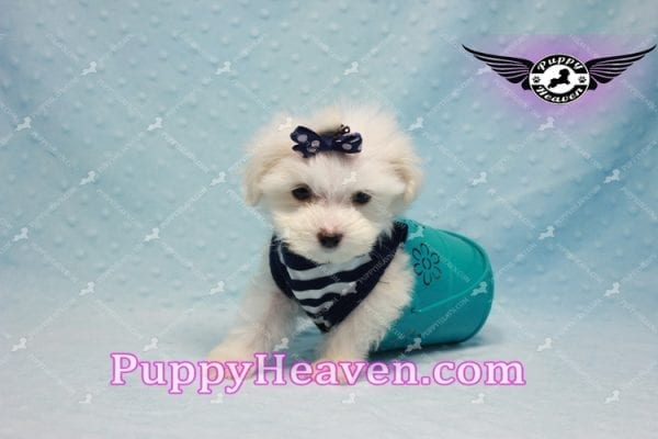 Charmer - Teacup Morkie Puppy-9989