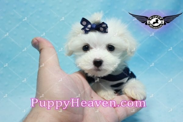 Charmer - Teacup Morkie Puppy-9992