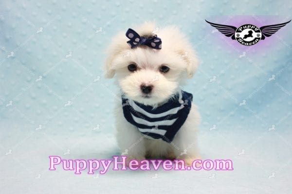 Charmer - Teacup Morkie Puppy-9986