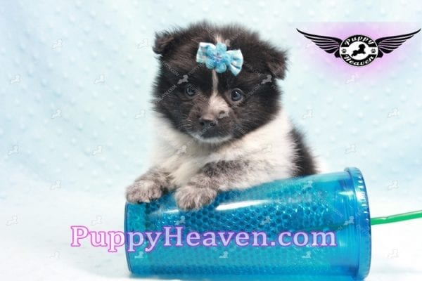 Chocolate Fudge - Pomeranian Puppy Found His Loving Home with Michael from Beverly Hills 90210-9999