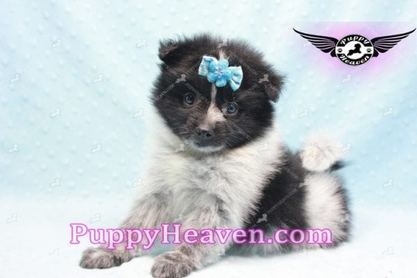 Chocolate Fudge - Pomeranian Puppy Found His Loving Home with Michael from Beverly Hills 90210-0