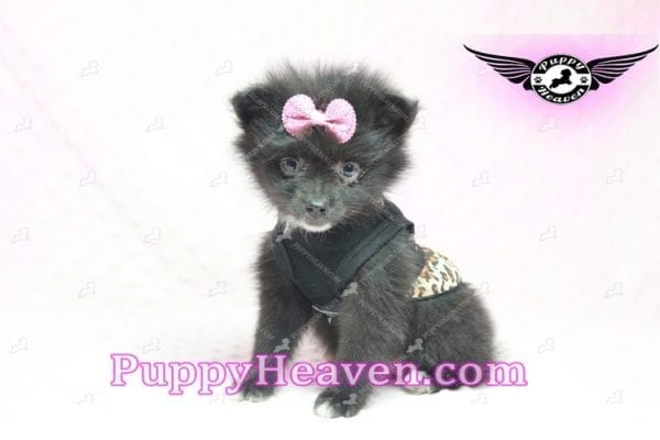 Christina Aguilera - Toy Pomeranian Puppy has found a good loving home with Tonya from North Las Vegas, NV 89081-9618
