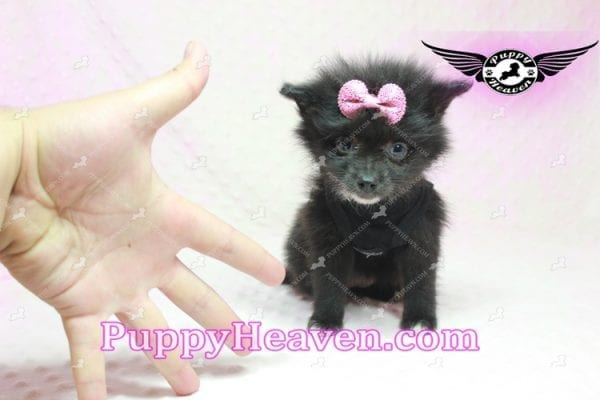 Christina Aguilera - Toy Pomeranian Puppy has found a good loving home with Tonya from North Las Vegas, NV 89081-9617