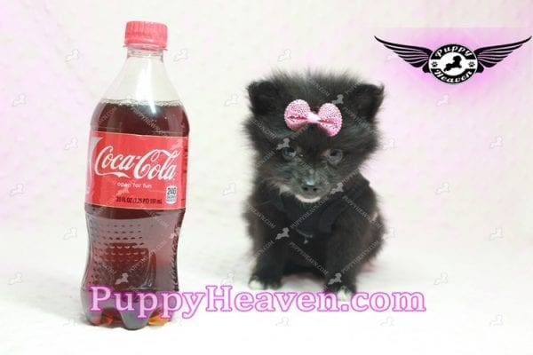 Christina Aguilera - Toy Pomeranian Puppy has found a good loving home with Tonya from North Las Vegas, NV 89081-0