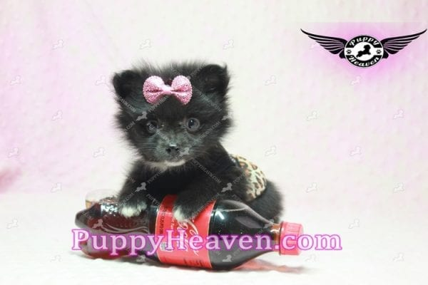 Christina Aguilera - Toy Pomeranian Puppy has found a good loving home with Tonya from North Las Vegas, NV 89081-9620