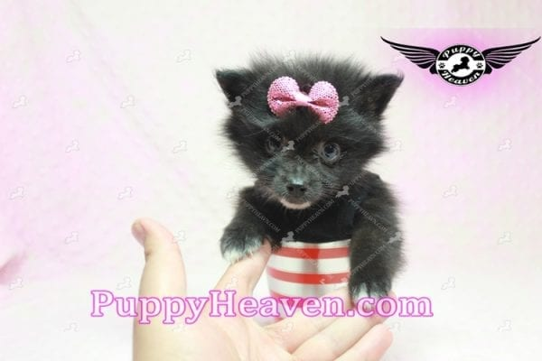 Christina Aguilera - Toy Pomeranian Puppy has found a good loving home with Tonya from North Las Vegas, NV 89081-9614