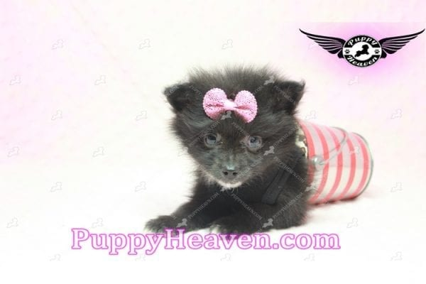 Christina Aguilera - Toy Pomeranian Puppy has found a good loving home with Tonya from North Las Vegas, NV 89081-9616