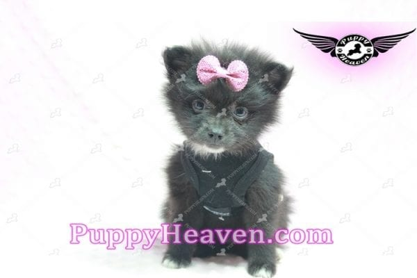 Christina Aguilera - Toy Pomeranian Puppy has found a good loving home with Tonya from North Las Vegas, NV 89081-9611