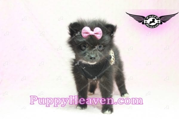 Christina Aguilera - Toy Pomeranian Puppy has found a good loving home with Tonya from North Las Vegas, NV 89081-9613