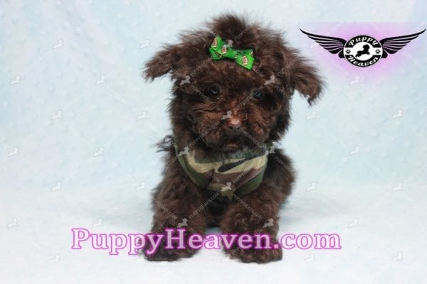 Denzel Washington - Maltipoo Puppy Fund His Loving Home with Debbie from Beverly Hills CA 90210-9757