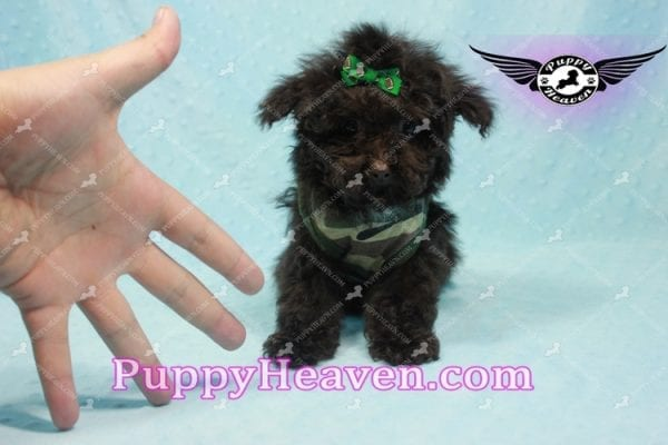 Denzel Washington - Maltipoo Puppy Fund His Loving Home with Debbie from Beverly Hills CA 90210-9758