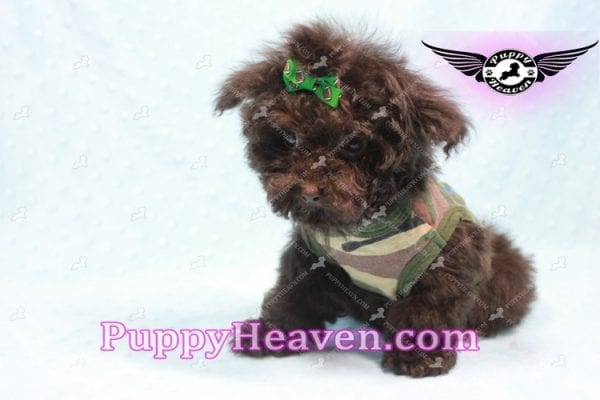 Denzel Washington - Maltipoo Puppy Fund His Loving Home with Debbie from Beverly Hills CA 90210-9756