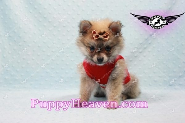 Donald Trump - Teacup Pomeranian Puppy In LA Found a new loving home with Michelle from Sun Valley CA 91352 -0