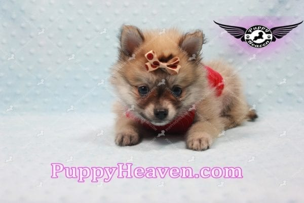 Donald Trump - Teacup Pomeranian Puppy In LA Found a new loving home with Michelle from Sun Valley CA 91352 -9688