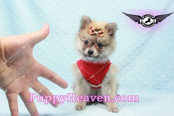 Donald Trump - Teacup Pomeranian Puppy In LA Found a new loving home with Michelle from Sun Valley CA 91352 -9689