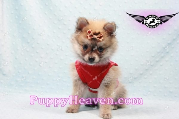Donald Trump - Teacup Pomeranian Puppy In LA Found a new loving home with Michelle from Sun Valley CA 91352 -9682