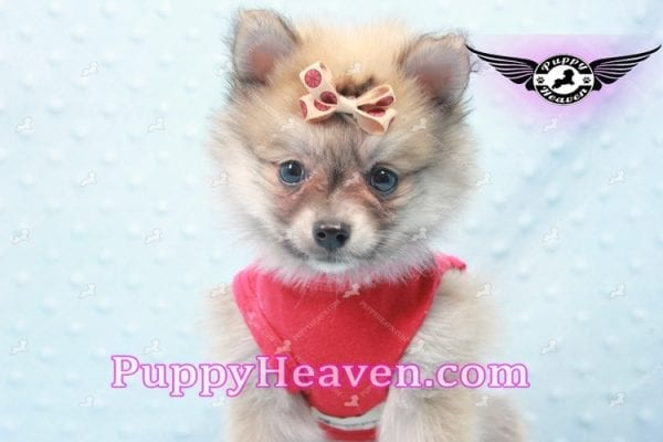 Donald Trump - Teacup Pomeranian Puppy In LA Found a new loving home with Michelle from Sun Valley CA 91352 -9686