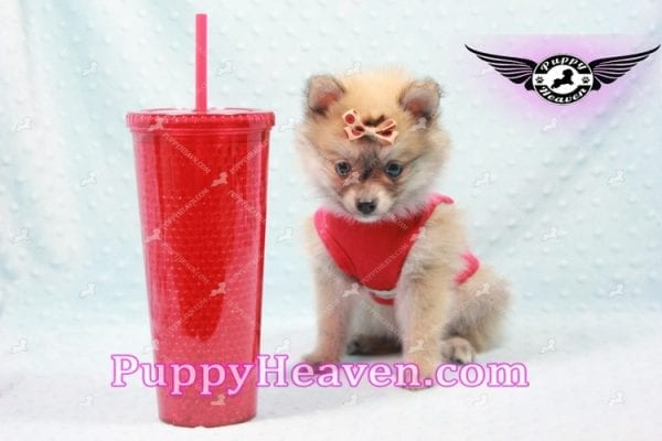 Donald Trump - Teacup Pomeranian Puppy In LA Found a new loving home with Michelle from Sun Valley CA 91352 -9685