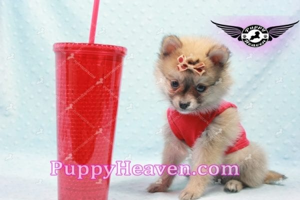 Donald Trump - Teacup Pomeranian Puppy In LA Found a new loving home with Michelle from Sun Valley CA 91352 -9690