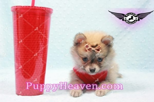 Donald Trump - Teacup Pomeranian Puppy In LA Found a new loving home with Michelle from Sun Valley CA 91352 -9683