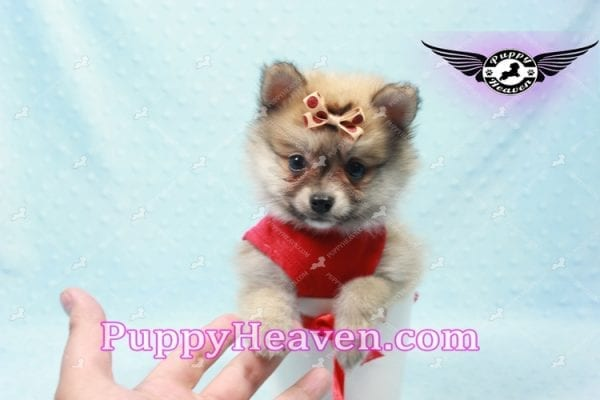 Donald Trump - Teacup Pomeranian Puppy In LA Found a new loving home with Michelle from Sun Valley CA 91352 -9687