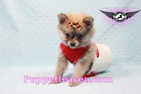 Donald Trump - Teacup Pomeranian Puppy In LA Found a new loving home with Michelle from Sun Valley CA 91352 -9684