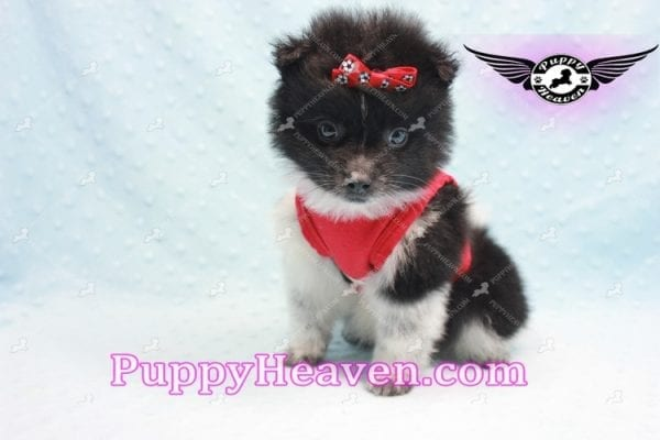 Donatello - Teacup Pomeranian Puppy is currently on hold for Analisa from Madera, 93638-10008