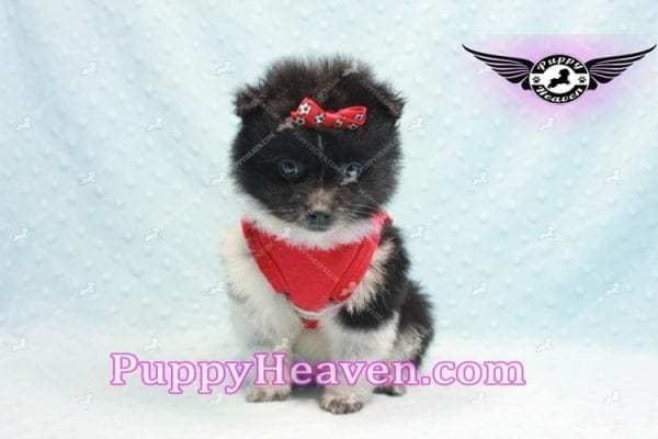 Donatello - Teacup Pomeranian Puppy is currently on hold for Analisa from Madera, 93638-10006