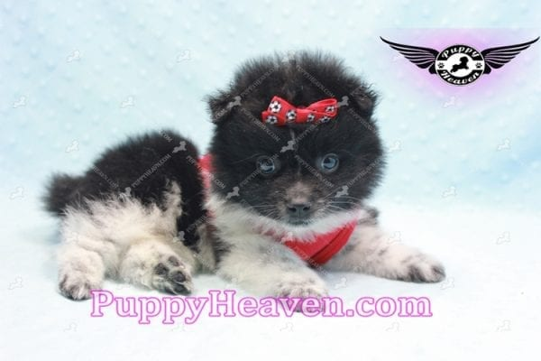 Donatello - Teacup Pomeranian Puppy is currently on hold for Analisa from Madera, 93638-10009