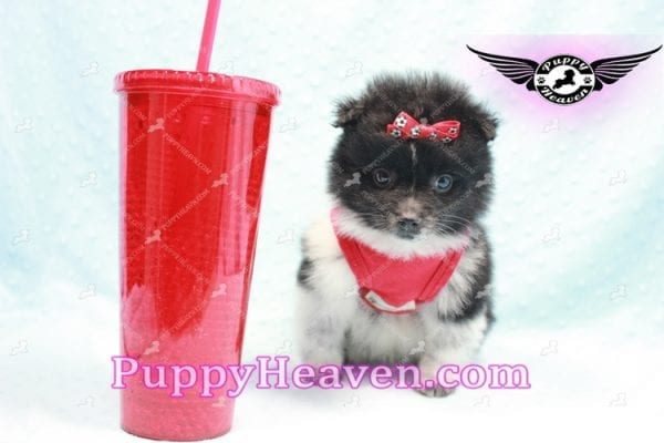 Donatello - Teacup Pomeranian Puppy is currently on hold for Analisa from Madera, 93638-10005
