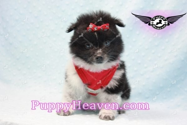 Donatello - Teacup Pomeranian Puppy is currently on hold for Analisa from Madera, 93638-10004