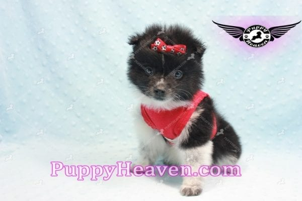 Donatello - Teacup Pomeranian Puppy is currently on hold for Analisa from Madera, 93638-0