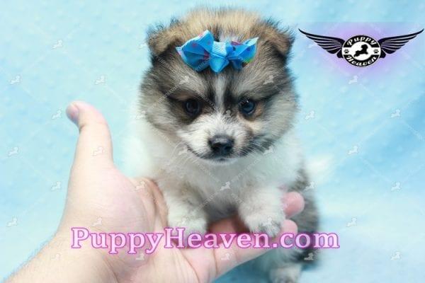Foxy - Teacup Pomeranian Puppy-10011
