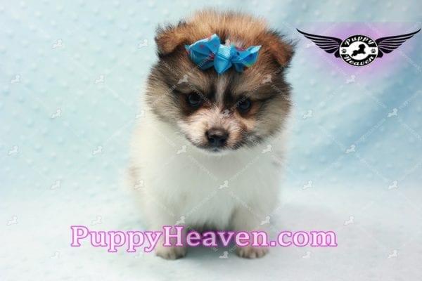 Foxy - Teacup Pomeranian Puppy-0