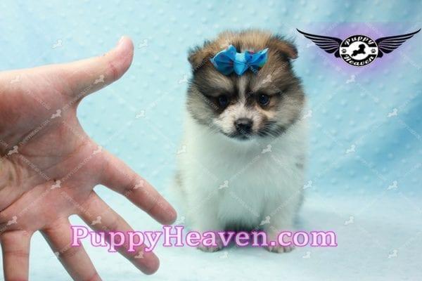 Foxy - Teacup Pomeranian Puppy-10014